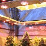 """Iluminación en cultivos de marihuana indoor – Articulo Soft Secrets """"Cultivos del siglo XXI"""""""