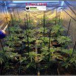 2.3- 5 días a 12/12: el cultivo de marihuana empieza a coger forma