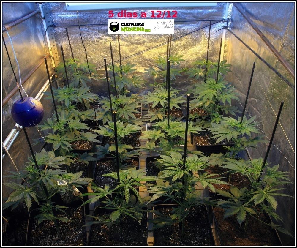 2.3- 5 días a 12/12: el cultivo de marihuana empieza a coger forma 1