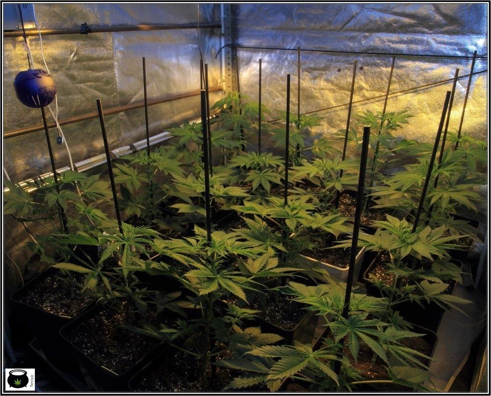 2.3- 5 días a 12/12: el cultivo de marihuana empieza a coger forma 2