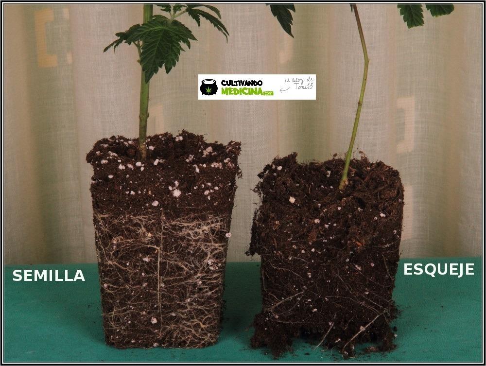 semilla y esqueje de marihuana comparación