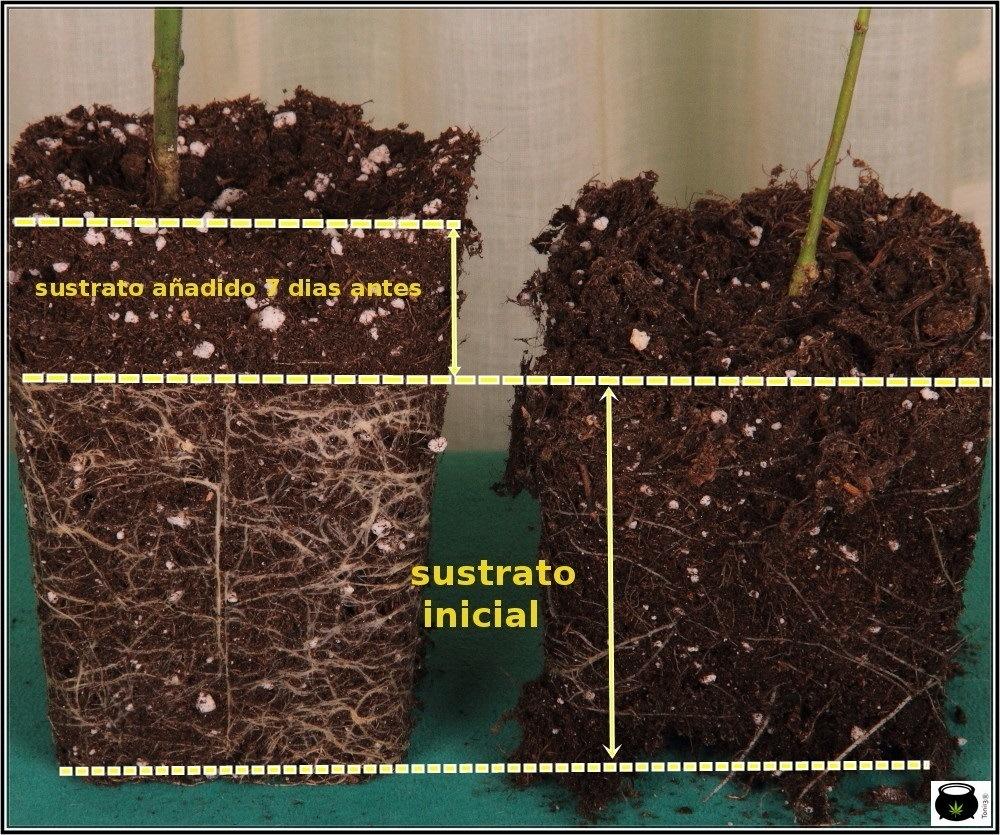 qué produce más semilla o esqueje de marihuana