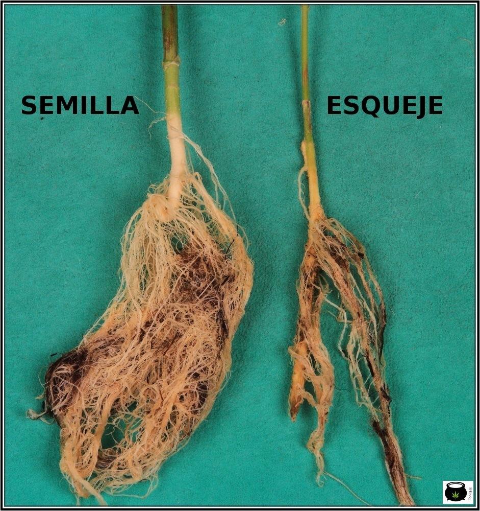 raíces de planta de marihuana semilla y esqueje