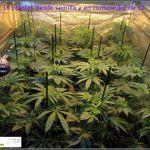 2.4- 11 días a 12/12: las plantas empiezan a colonizar la superficie del cultivo