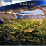 2.6- 20 días a 12/12 – El moldeo lumínico del cultivo de marihuana ha terminado