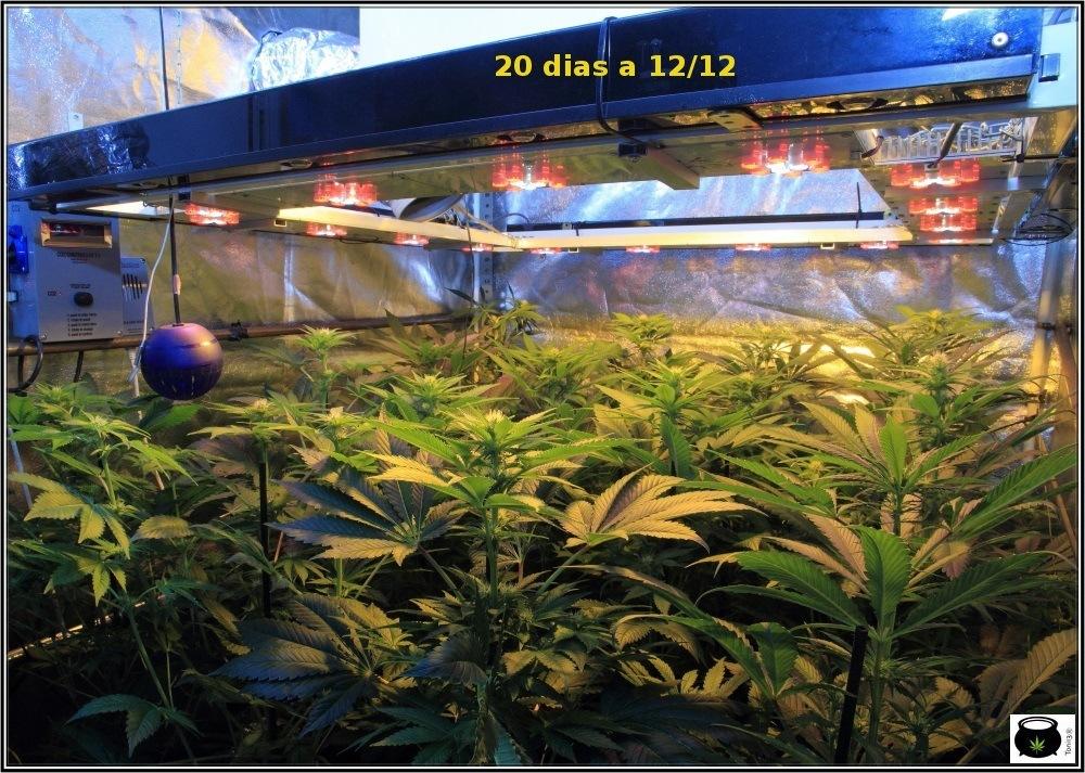 cultivo de marihuana Sodio+LED-1