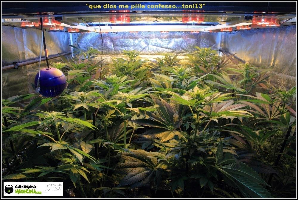 cultivo de marihuana Sodio+LED-2
