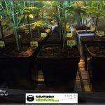 2.7- 25 días a 12/12: En llenar está la ganancia, cultivo de marihuana de interior