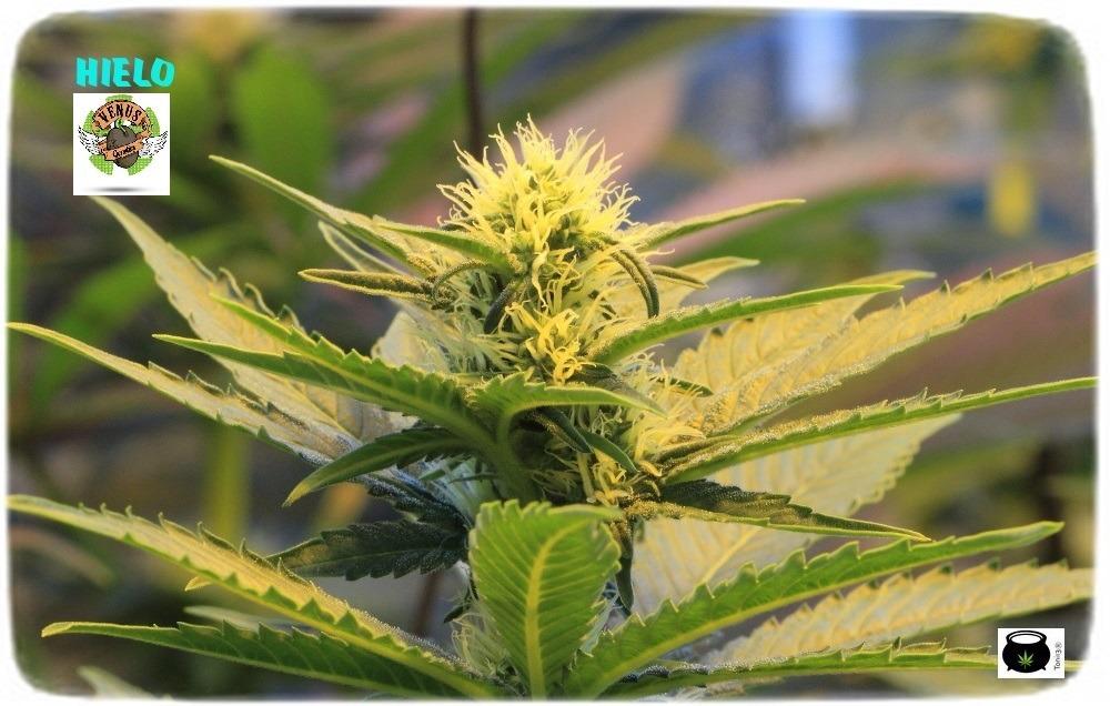 venus-seeds-hielo-variedad-marihuana