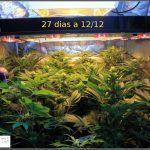 2.8- 27 días a 12/12: Las hojas de marihuana están mas tiesas que un ajo