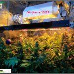 2.16- 54 días a 12/12: actualización general del cultivo, lavado de raíces