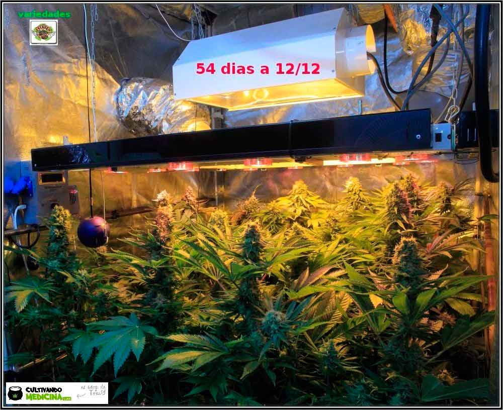 Sodio+led-variedades-cannabis-Venus-Genetics-1