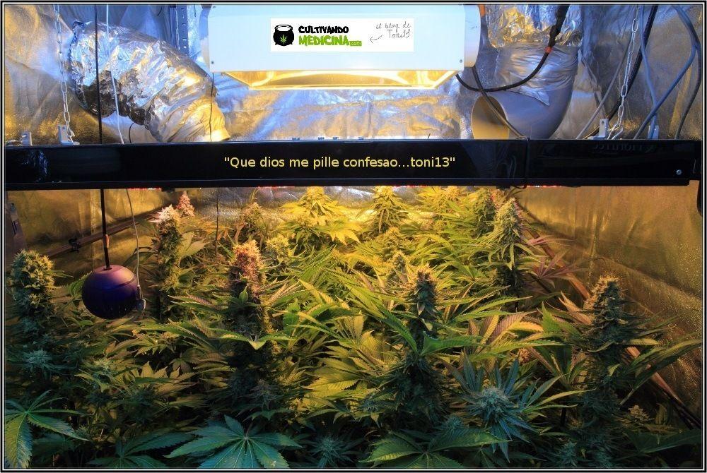 Sodio+led-variedades-cannabis-Venus-Genetics-2