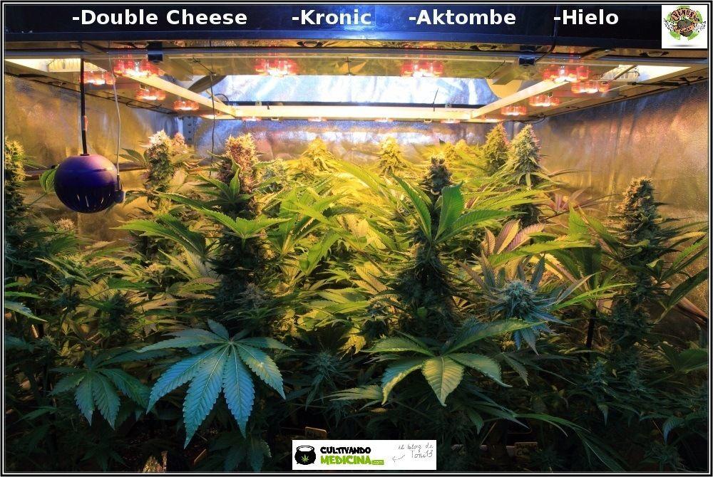 Sodio+led-variedades-cannabis-Venus-Genetics-3