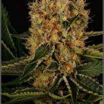 2.17- 56 días a 12/12: Fotografías de la variedad de marihuana AKtombe