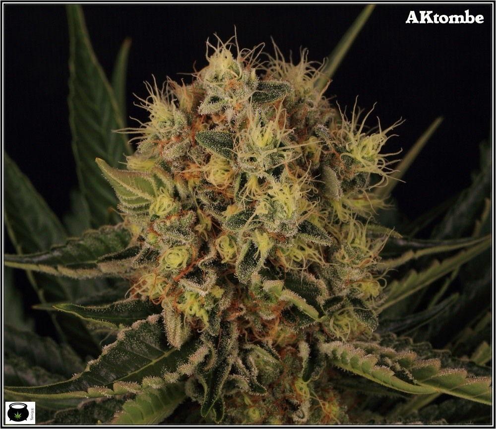 variedades-marihuana-aktombe-Venus-Genetics-2