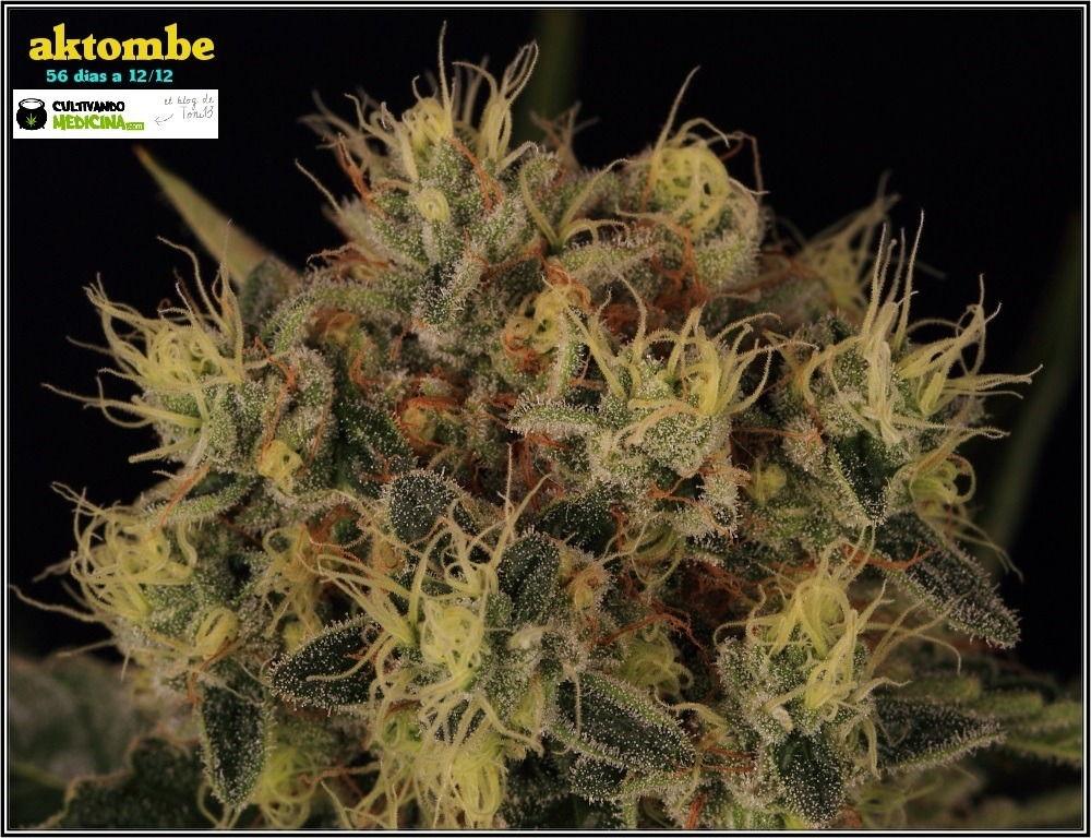 variedades-marihuana-aktombe-Venus-Genetics-3