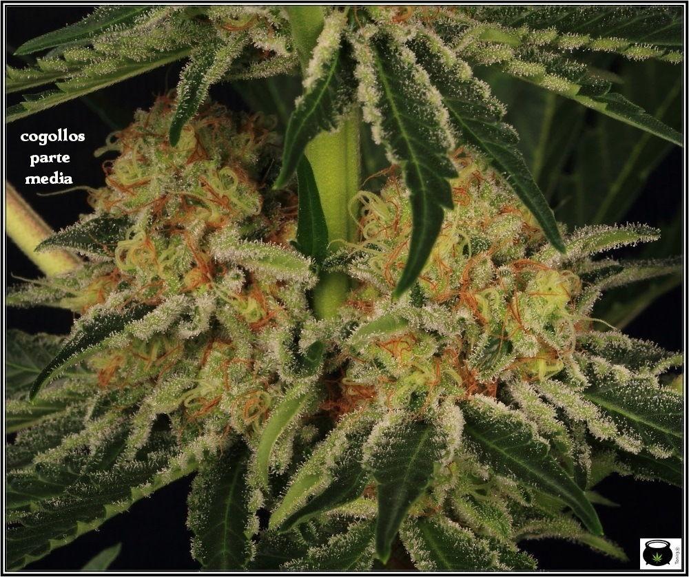 variedades-marihuana-aktombe-Venus-Genetics-4