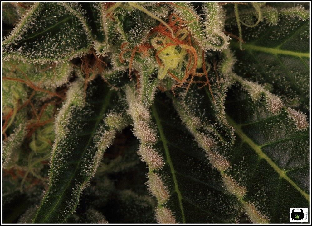 variedades-marihuana-aktombe-Venus-Genetics--estigmas-7