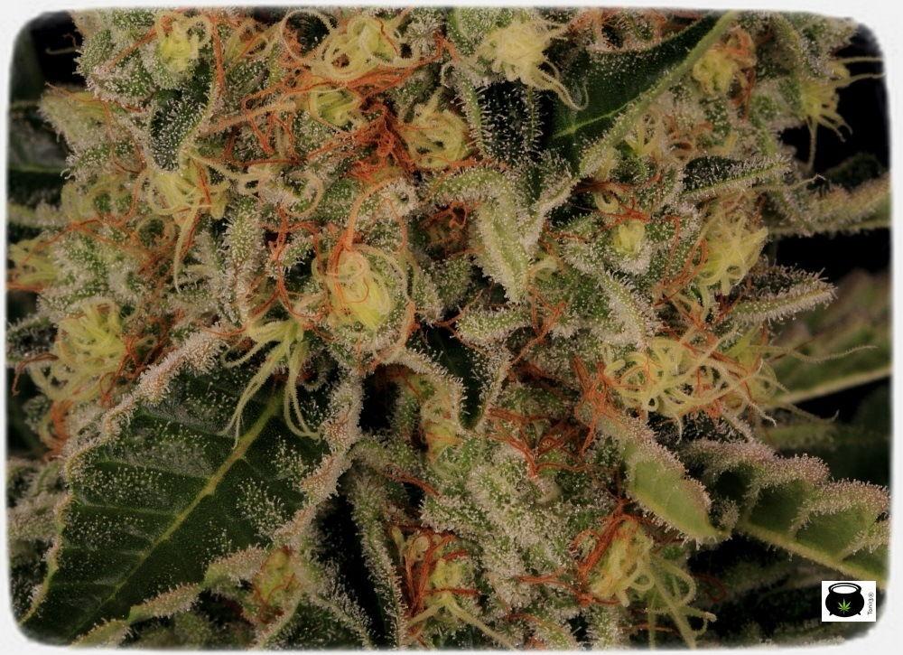 variedades-marihuana-aktombe-Venus-Genetics--estigmas-estigmas-8