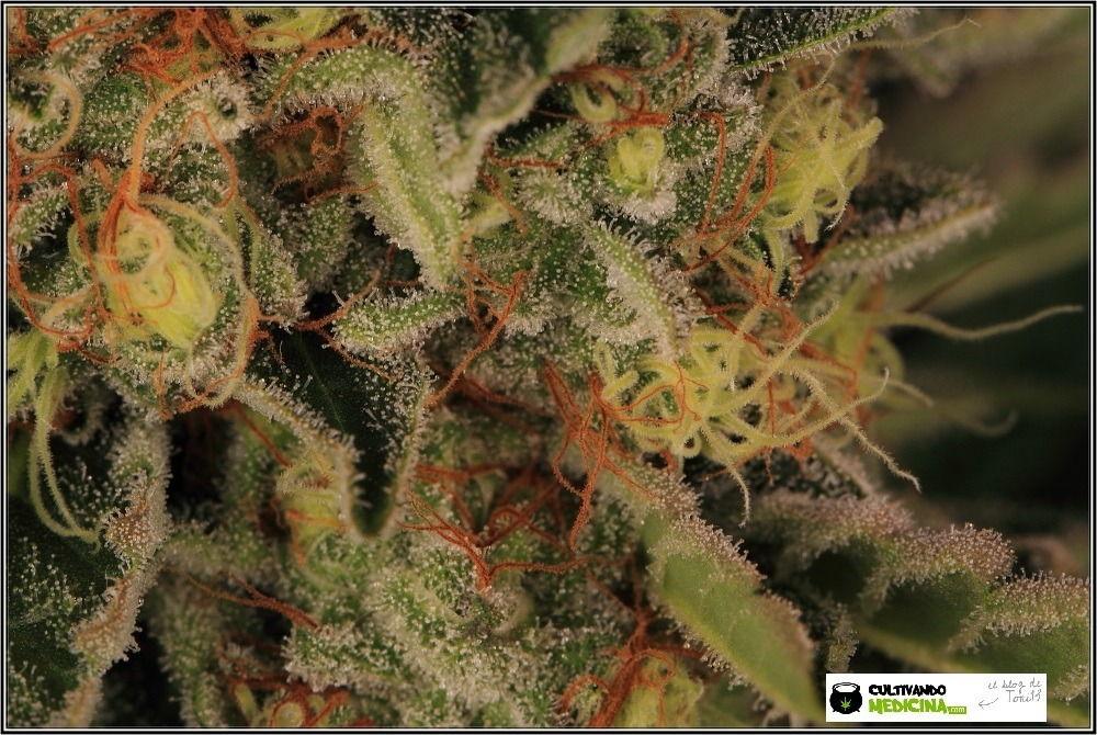 variedades-marihuana-aktombe-Venus-Genetics--estigmas-estigmas-9
