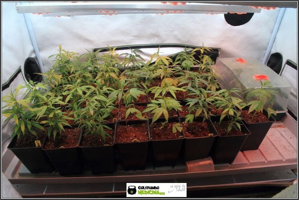 iclone-semillero-esquejes-marihuana-11