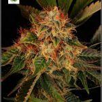 2.18- 57 días a 12/12: Variedad de marihuana Hielo fotografías finales