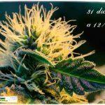 2.9- 31 días a 12/12: Calentando motores dentro del cultivo de marihuana