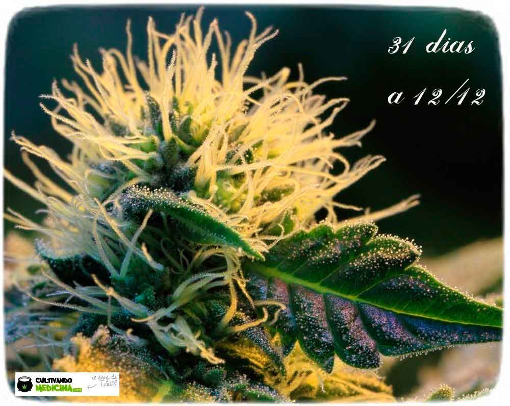 variedad-marihuana-venus-genetics-3-cogollo