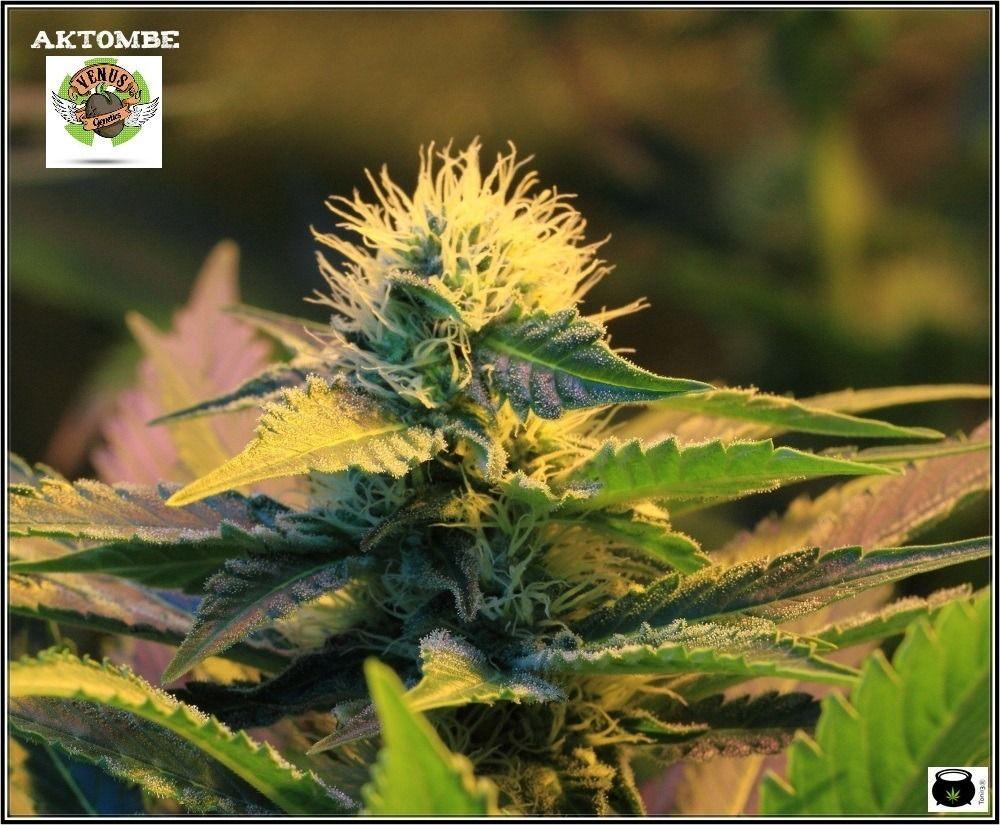 variedad-marihuana-venus-genetics-2-cogollo