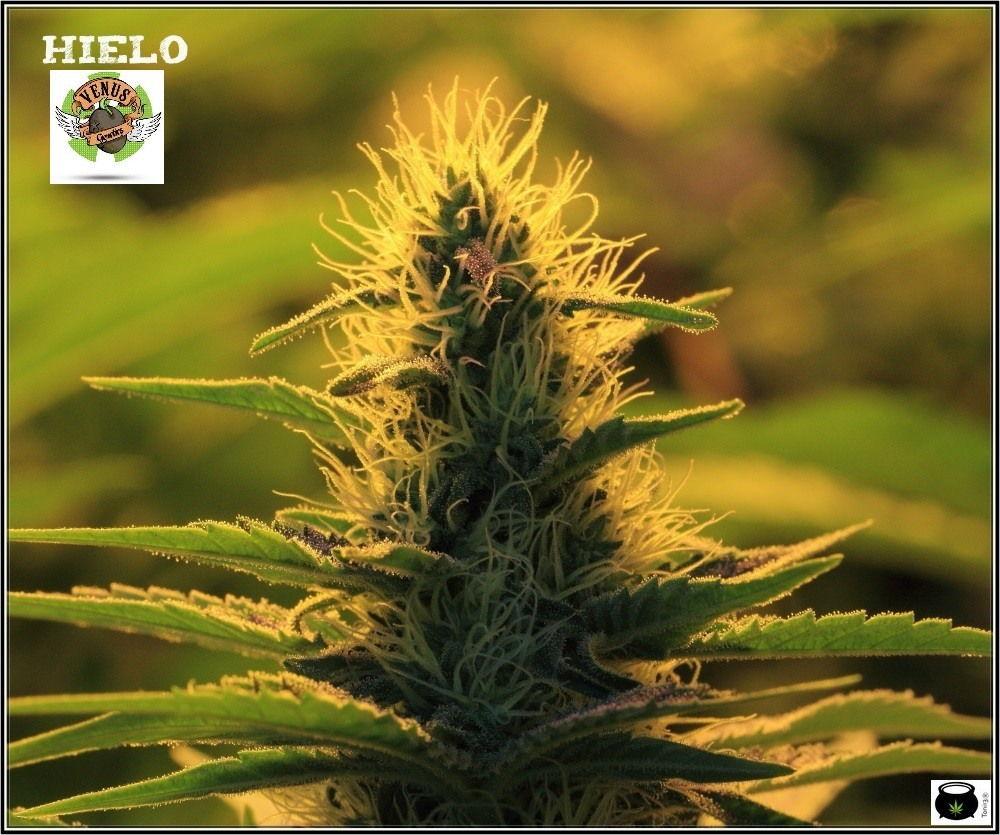 variedad-marihuana-venus-genetics-1-cogollo