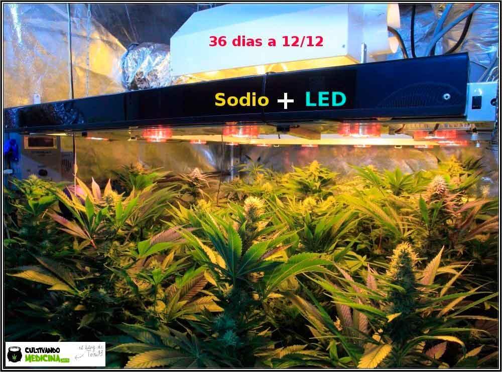 cultivo-sodio-led-marihuana-1