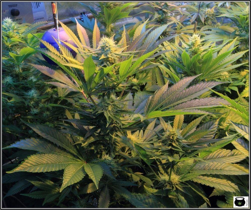 cultivo-sodio-led-marihuana-2