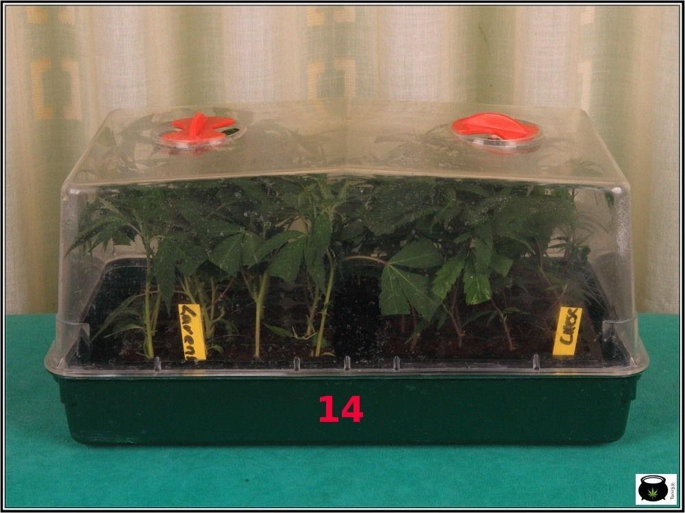iclone-semillero-esquejes-marihuana-6
