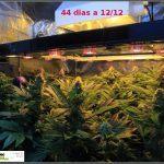 2.11- 44 días a 12/12: actualización general del cultivo de marihuana