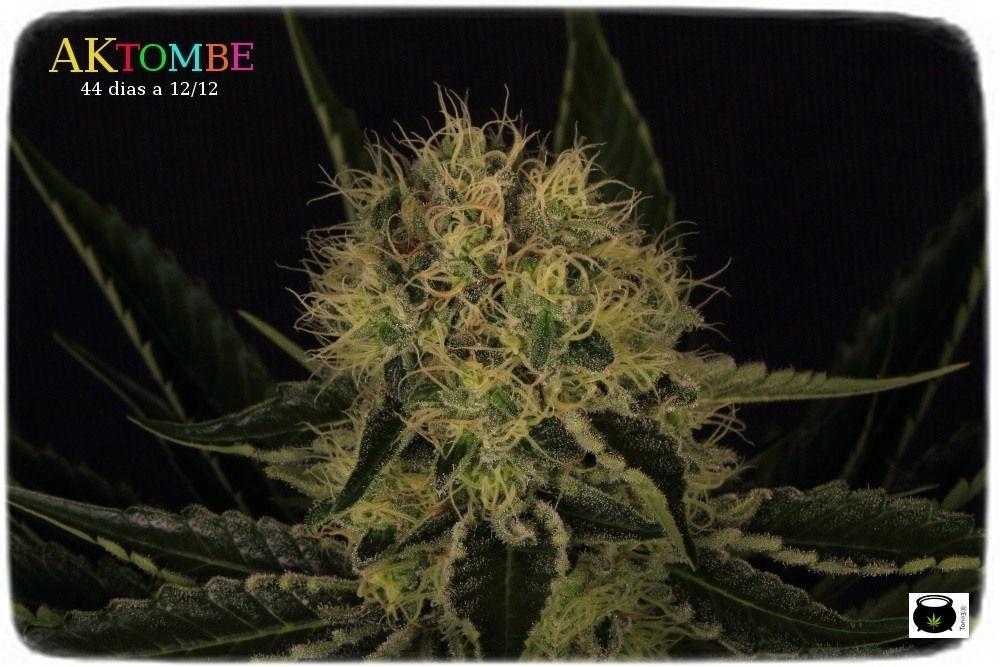 aktombe-variedad-marihuana-venus genetics-4