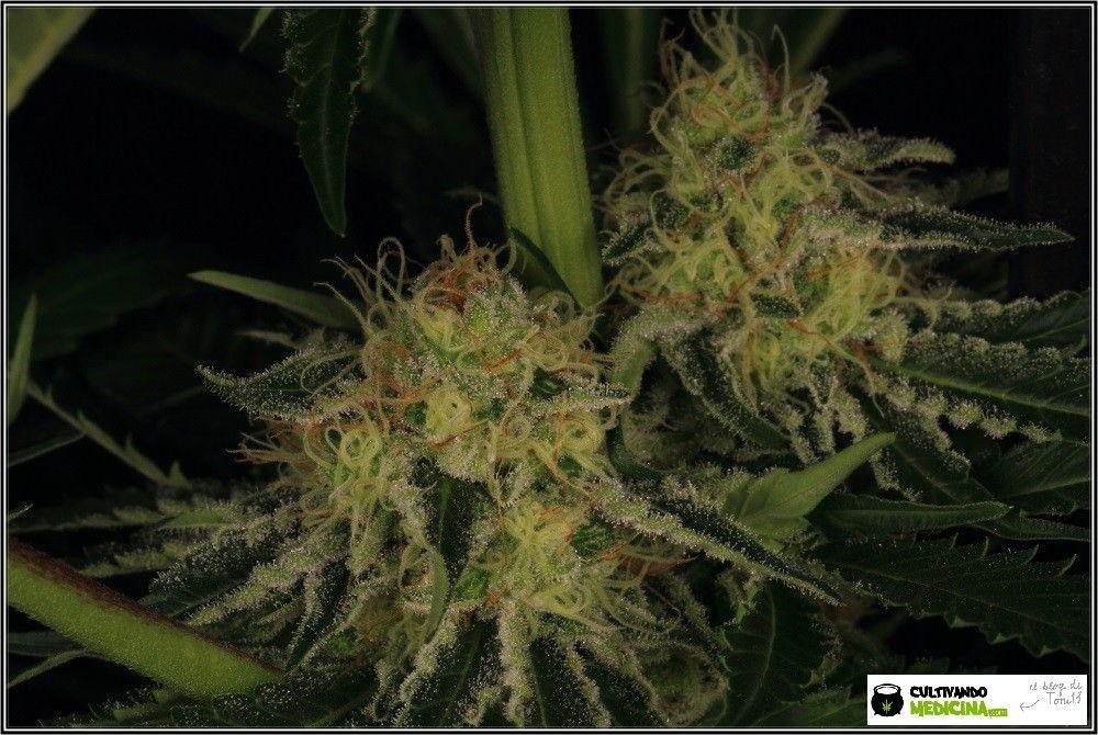 aktombe-variedad-marihuana-venus genetics-5