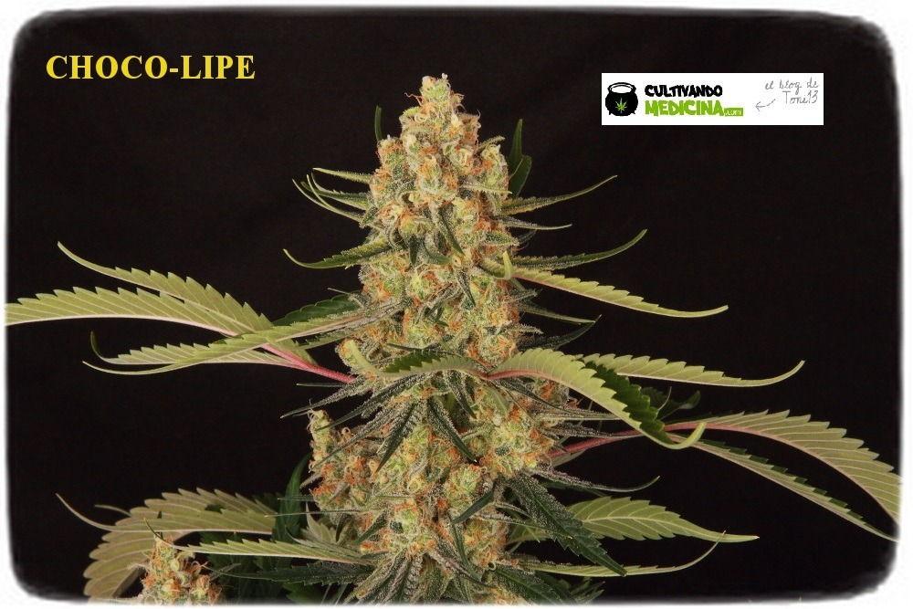 variedad-marihuana-chocolope-DNA-Geneticis