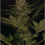 2.13- 50 días a 12/12:  Variedad marihuana Hielo con luz de estudio
