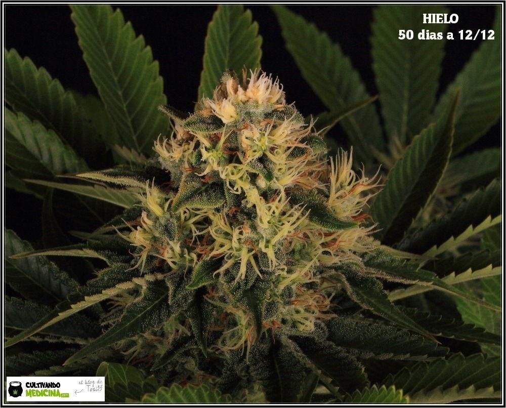 variedad-marihuana-HIELO-banco-Venus-Genetics-4