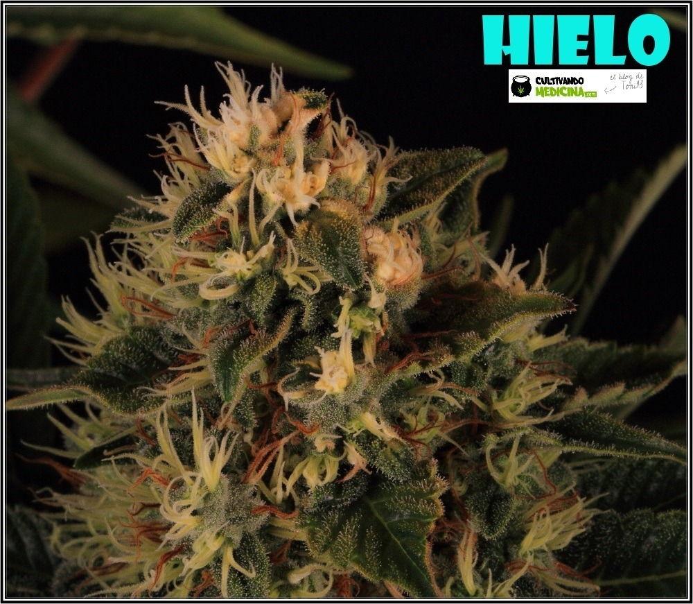 variedad-marihuana-HIELO-banco-Venus-Genetics-7