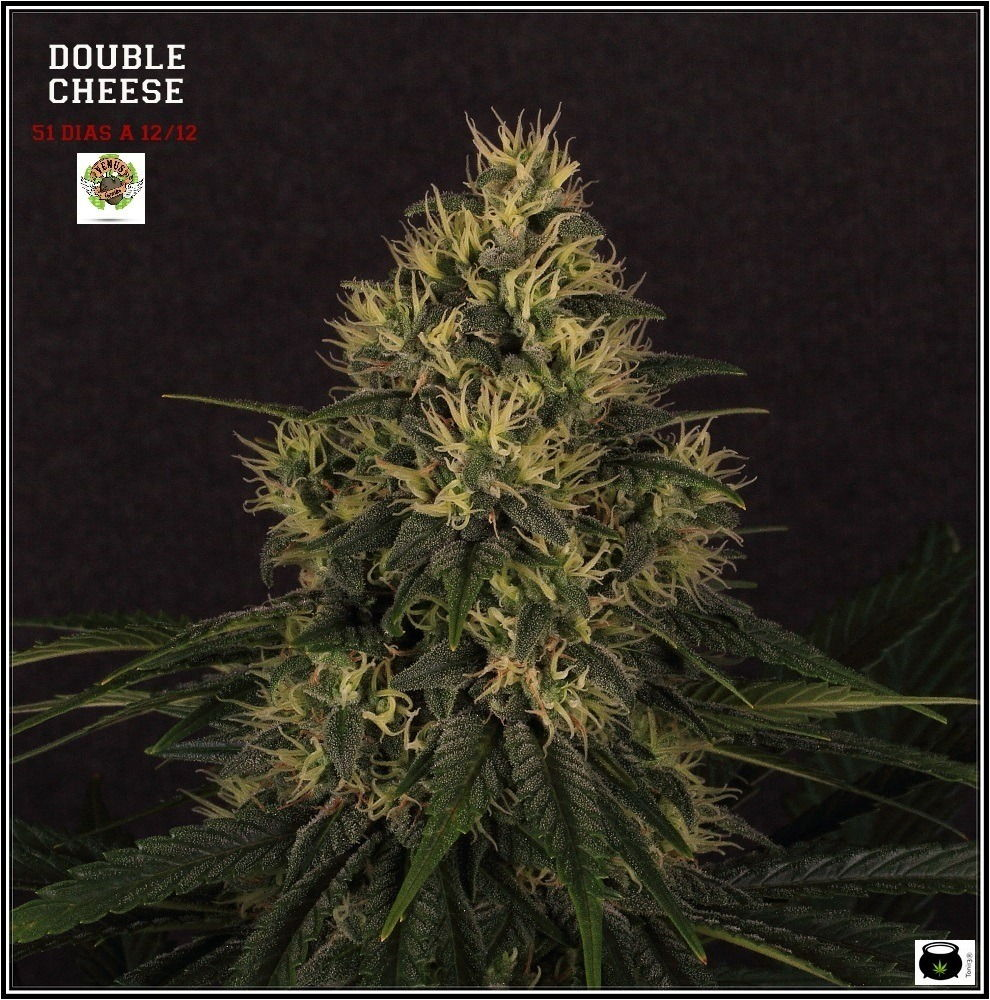 variedad de marihuana double cheese-3