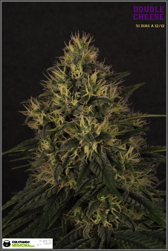variedad de marihuana double cheese-4