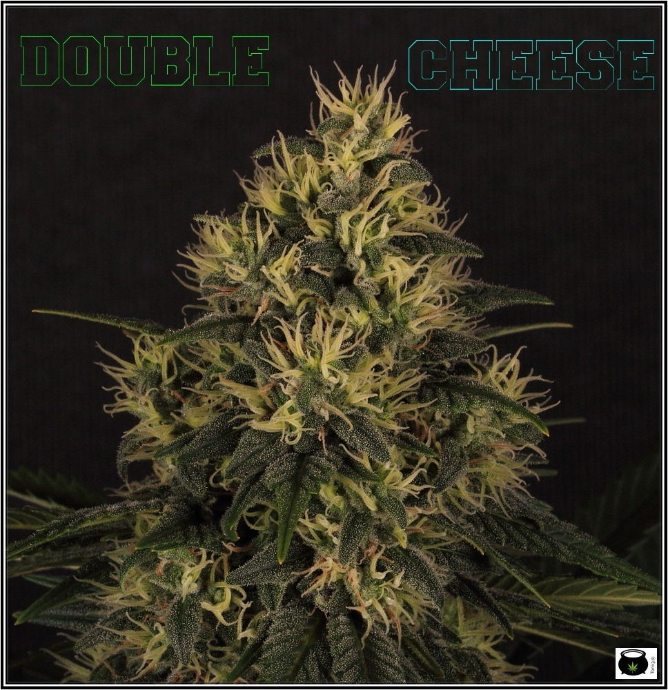 variedad de marihuana double cheese-5
