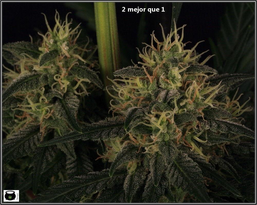 variedad de marihuana double cheese-6