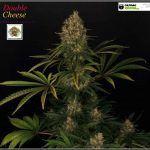 2.21- 63 días a 12/12: cortar y limpiar el cultivo de marihuana Venus Genetics