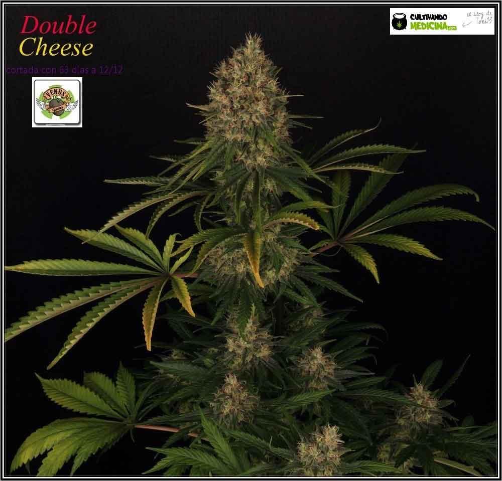cultivo-de-marihuana-variedades-Venus-Genetics-1