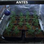 4- Cultivo de marihuana coco y choco esquejes clones élite: esto marcha