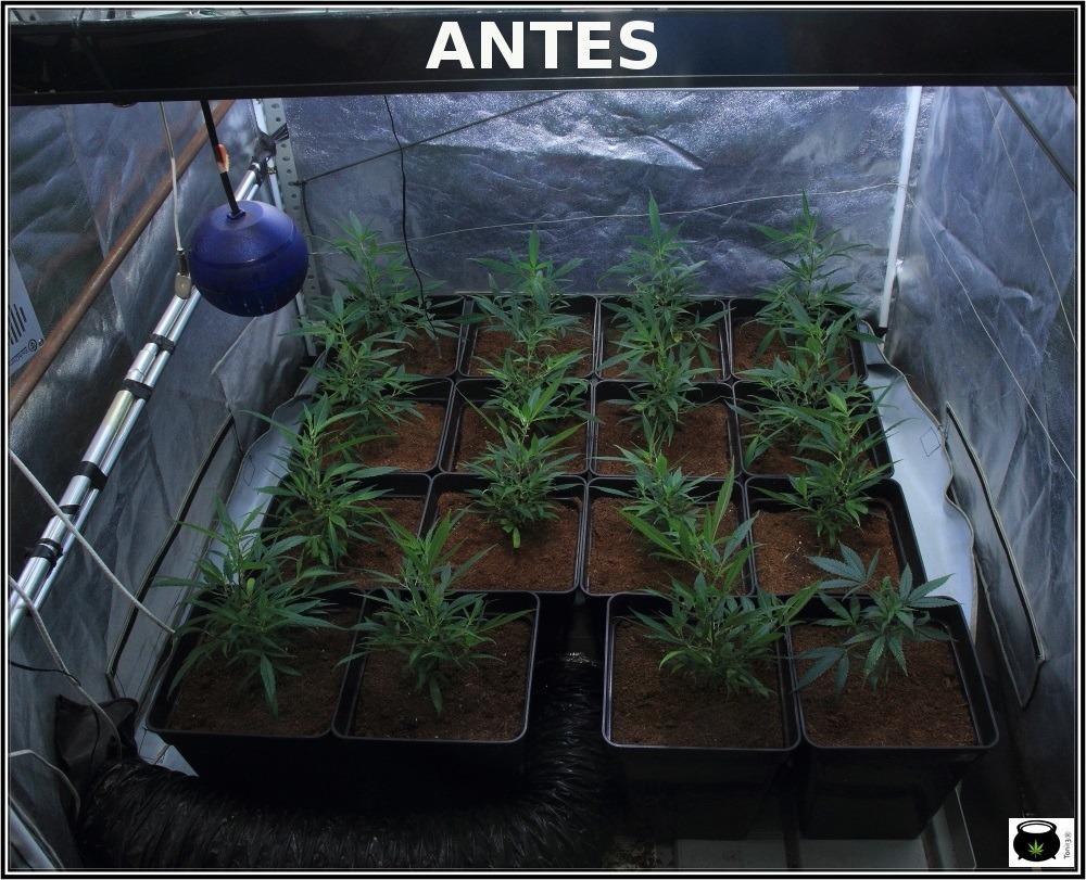 Cultivo-de-marihuana-coco-choco-esto-marcha-ramas-bajeras-1