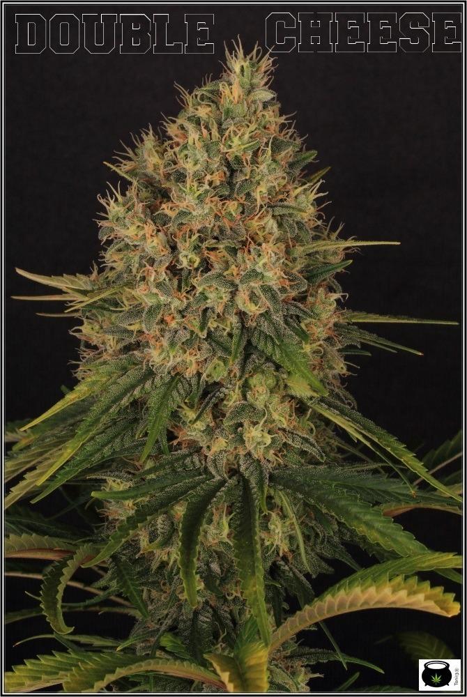 seguimiento-marihuana-variedades-Venus-Genetics-2
